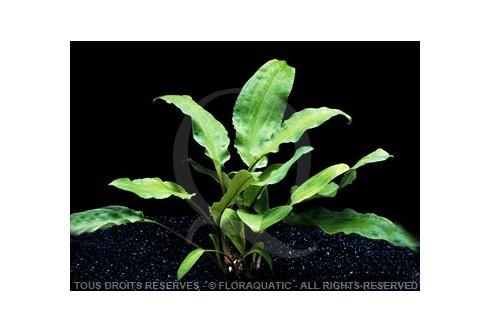 Cryptocoryne undulata var broad leaves