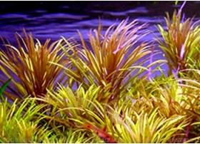 Eusteralis Stellata sp. Narrow Leaves
