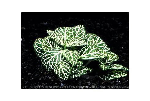 Fittonia argyroneura vert