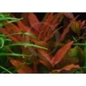 Hygrophila Angustifolia Red