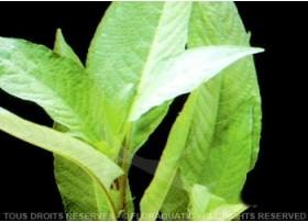 Hygrophila Stricta Thailand