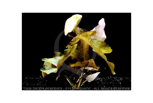 Nymphaea Rubra