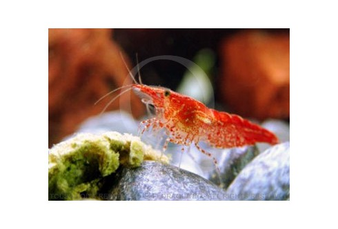 Neocaridina heteropoda - Red Cherry