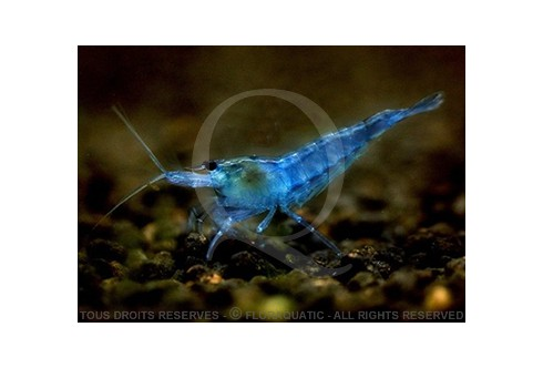 Neocaridina heteropoda - Blue Dream - Velvet
