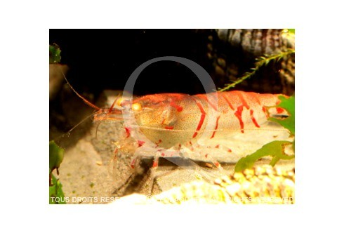 Caridina cf. cantonensis - Tiger Red Orange Eyes