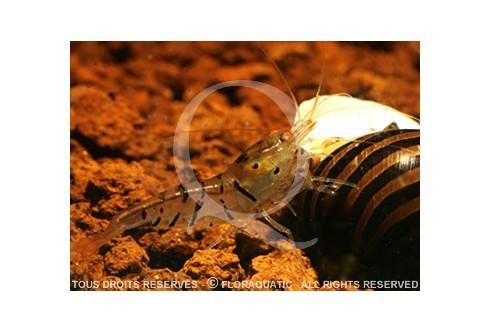 Caridina cf. cantonensis - Tiger Orange Eyes