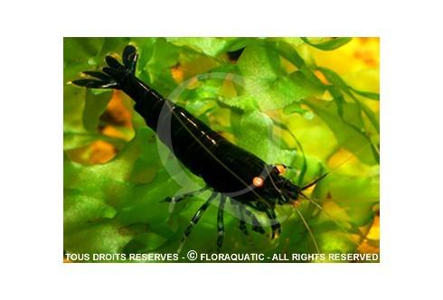 Caridina cf. cantonensis - Tiger black BT0 Orange Eyes