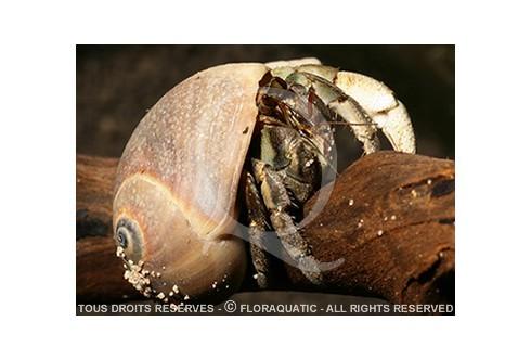 Bhm coenobita rugosus - Bernard l'hermite terrestre