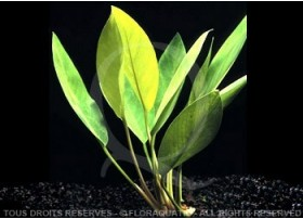 "Anubias Heterophylla ""Lanceolata"""