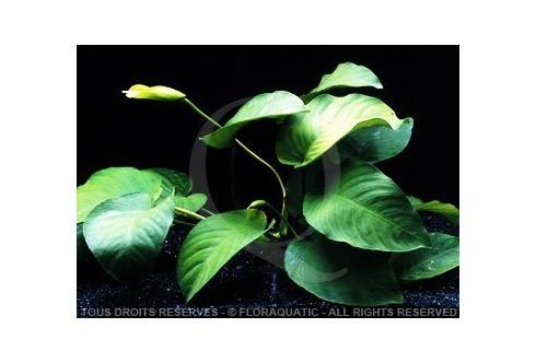 Anubias Barteri var broad leaf