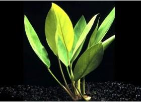 "Anubias Heterophylla ""Lanceolata""-Racines nues"