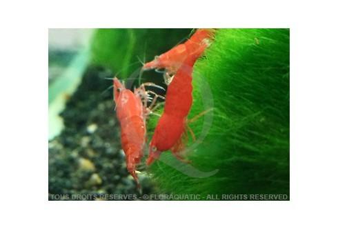 Neocaridina heteropoda - Sakura Red