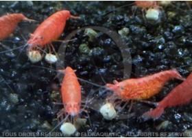 Neocaridina heteropoda - Red Fire