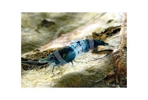 Neocaridina heteropoda - Rili Carbon Blue Black