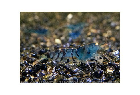 Caridina cf. cantonensis - Tiger Blue Orange Eyes