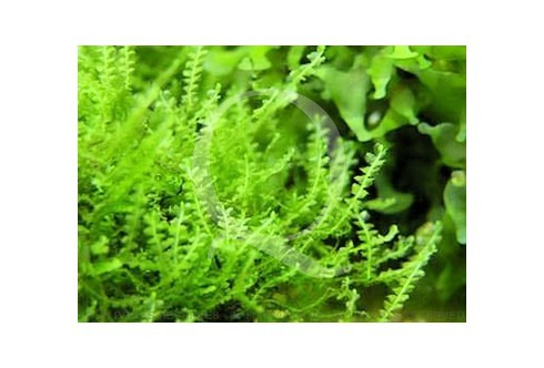 Plagiomnium Affine - Mini Pearl Moss