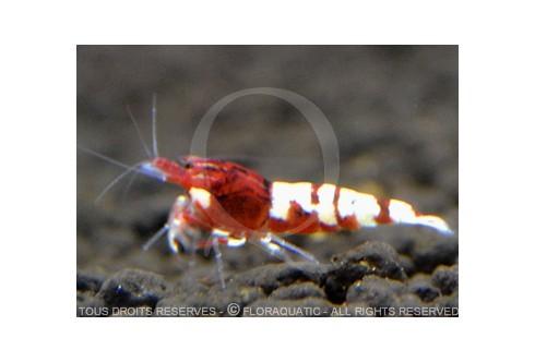 Caridina cf. cantonensis - Pinto Bee Red