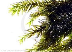 Fissidens - Fox Moss