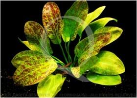 Echinodorus Green Flame