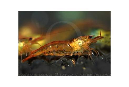 Caridina cf. cantonensis - Tiger Tangerine