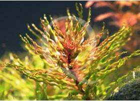 Ludwigia Inclinata Curly