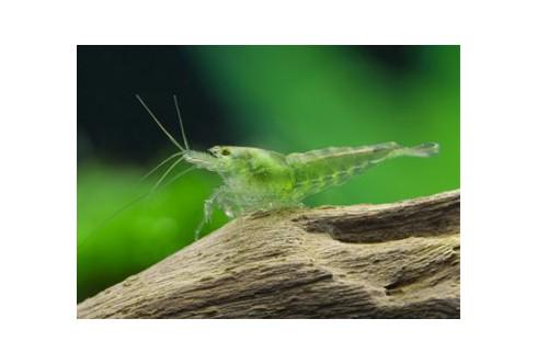 Neocaridina heteropoda - Green Jade