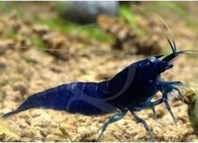 Caridina cf. cantonensis - Tiger Blue Royal