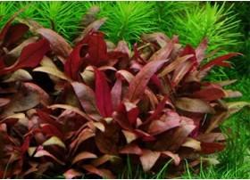 FloraVitro - Alternanthera Reineckii var. Mini