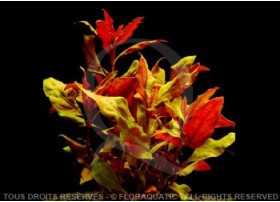 FloraVitro - Alternanthera Splendida