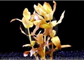 FloraVitro - Ammannia Senegalensis