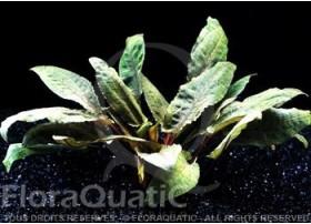 FloraVitro - Cryptocoryne Wendtii Tropica