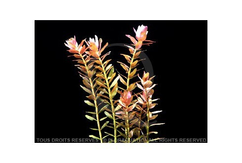 FloraVitro - Rotala Rotundifolia