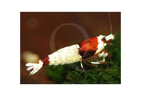 Caridina cf. cantonensis - Shadow Bee Mosura Red