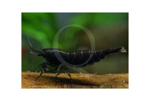 Caridina cf. cantonensis - Tiger black BT0 Black Eyes