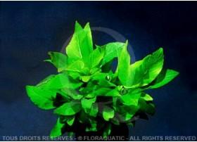 FloraVitro - Hygrophila Corymbosa Compacte