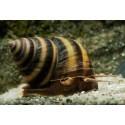 Taia naticoides - Piano Snail