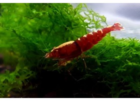 Caridina cf. cantonensis - Fishbone F1 Red Backline/Zebra