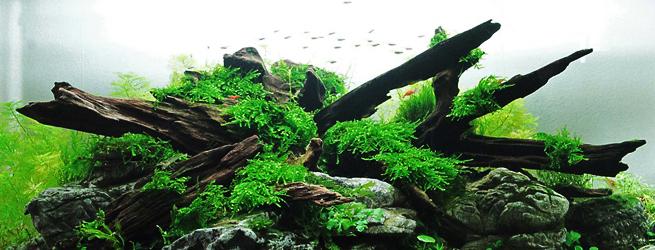 un aquascaping en aquarium