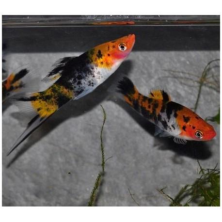 Xipho, Porte-épée, 5-6cm, Tricolor