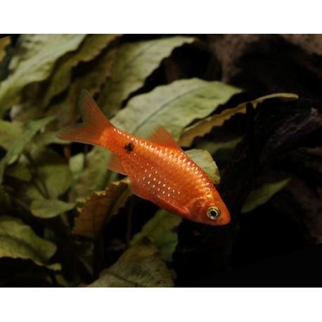 Barbus rosé, 3-4cm, Super rouge
