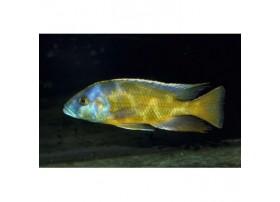 Nimbochromis venustus, 5-6cm, Jaune et bleu