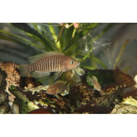 Lampro multifasciatus, 2,5-3cm