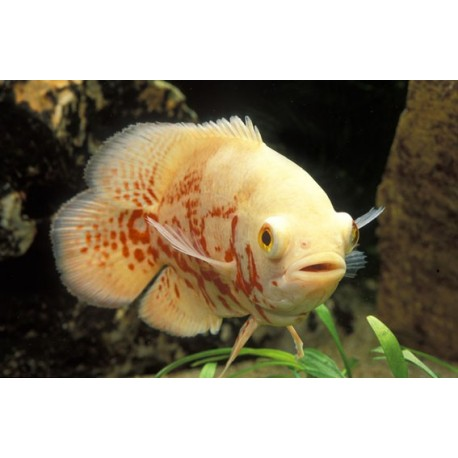 Oscar, 9-10cm, Albinos