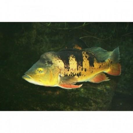 Peacock Bass, 3-4cm
