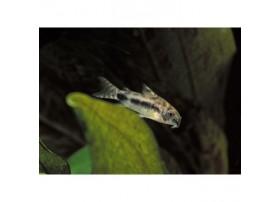 Corydoras sel et poivre, 1-2cm