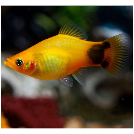 Platy, couleur Mickey jaune