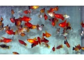 Platy, 3-4cm, voile couleur variée
