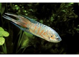 Poisson-paradis, Bleu, 4-5cm