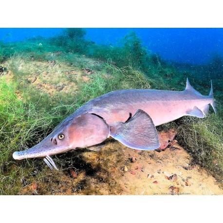 Beluga,50-60 cm,Gris