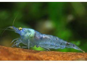 Neocaridina heteropoda - Blue Jelly